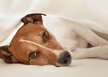 Dog in bed Royalty Free Stock Image