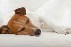 Dog in bed Stock Photos