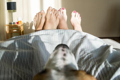 Dog in bed looking at people's feet Stock Image