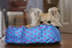 A dog bed polka dots. Cute longhair chihuahua hiding and relaxing in a polka dot dog bed indoors, looking at camera Royalty Free Stock Images