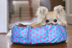 A dog bed with polka dots. Cute longhair chihuahua hiding and relaxing in a polka dot dog bed indoors, looking at camera Royalty Free Stock Photo
