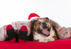 Dog in bed with santa Stock Photography