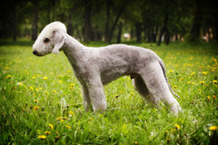 Dog Bedlington Terrier standing in show position in the summer Royalty Free Stock Photo
