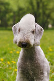 Dog Bedlington Terrier summer in the Park Stock Photography