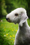 Dog Bedlington Terrier summer in the Park Stock Photography