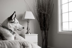 Dog in bedroom. High key portrait of dog resting on bed and looking out of window Royalty Free Stock Photo