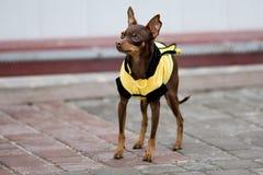 Dog bee Stock Photography