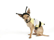 Dog bee. Chihuahua in a bee costume Royalty Free Stock Photo