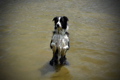 Border collie playing in the water royalty free stock image