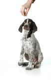 Dog begging. German shorthaired pointer begging for a treat isolated on white background Royalty Free Stock Image