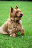 Dog begging - Australian Terrier