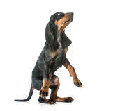 Dog begging. Black and tan coonhound standing on back legs begging on white background Royalty Free Stock Photography