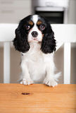 Dog begging royalty free stock photo
