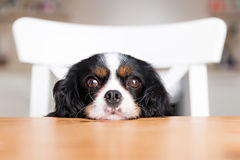 Dog begging Royalty Free Stock Photography