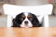 Dog begging Royalty Free Stock Photography