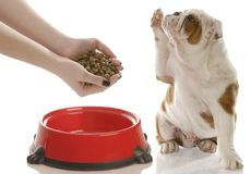 Dog begging for food. English bulldog puppy holding paw up begging for owner to feed him Stock Images
