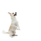 Dog begging food. Beautiful metis dog sitting on rear paws and asking for food. Isolated over white background. Square composition. Copy space Royalty Free Stock Photos