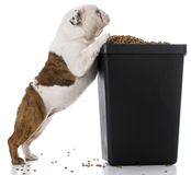 Dog begging for food. English bulldog puppy trying to sneak kibble out of dog food bin Stock Image