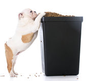 Dog begging for food. English bulldog puppy trying to sneak kibble out of dog food bin Stock Images