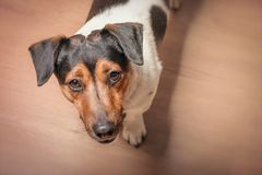 A dog with a begging gaze stands on the floor. Asking for a walk or meal stock images