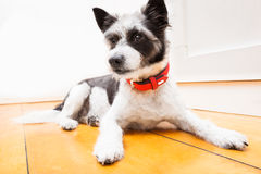 Dog begging on lap. Jack russell dog ready for a walk with owner or hungry ,begging on lap , inside their home Stock Photo
