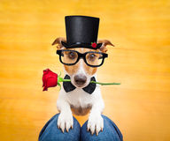 Dog begging on lap. Jack russell dog ready for a walk with owner with valentines rose in mouth wearing a black hat, begging on lap , inside their home Stock Photo