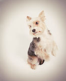 Dog begging pardon. Small dog begging pardon instagram toned yellow Royalty Free Stock Photos