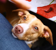 Dog begging for sausage close up portrait. From under the table Royalty Free Stock Photography