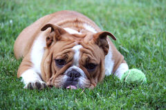 Dog begging to play. Ball - english bulldog laying beside tennis ball in the grass Stock Images