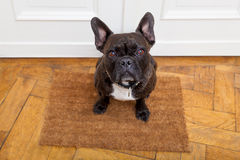Dog begging for a walk Royalty Free Stock Photography