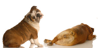 Dog behaviour. English bulldog looking at another dogs backside with funny expression isolated on white background stock photography