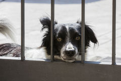 Dog behind the bars of the gate Royalty Free Stock Photography