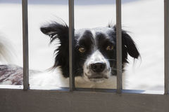 Dog behind the bars of the gate Royalty Free Stock Image