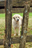 Dog behind fence Royalty Free Stock Photos