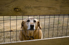 Dog behind the fence. Picture of a dog behind a fence signifying security Royalty Free Stock Photo
