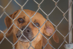 Dog behind a fence in an animal shelter. A dog looks longingly through a chain link fence waiting to be adopted from an animal shelter Stock Photos