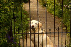 Dog behind gate Stock Images