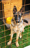 A dog behind the grid. A dog (German shepherd puppy) behind grid royalty free stock photos