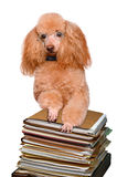 Dog behind a tall stack of books Stock Photos