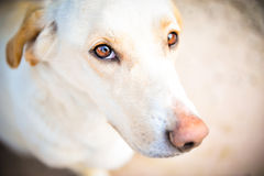 Dog. Beige small dog with brown eyes staring Royalty Free Stock Photography