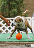 Dog being defiant about giving up the ball Stock Image