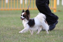 Dog being displayed. Dog being shown at pace at a dog show stock photography