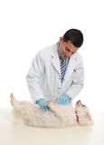 A dog being examined by vet Stock Photography