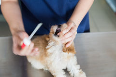 Dog being fed with medicine a vet Royalty Free Stock Images