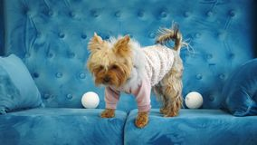 A dog being played with a Christmas tree toy. Cute silver dog Yorkshire Terrier wearing a funny winter sweater, playing with a Christmas tree toy on a blue sofa stock video