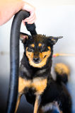 Dog being shampooed. Dog being cleaned up at a dogwash Stock Image