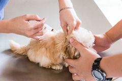 Dog being vaccinated by a vet Royalty Free Stock Photography