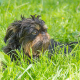 Dog, the Belgian griffin. Dog, the Belgian griffin, on a lawn Stock Photo