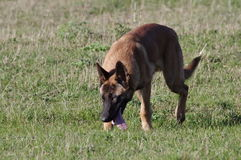 Dog - Belgian Malinois. The Malinois or Belgian Malinois, it is used as a working dog for tasks including detection of odors such as explosives, accelerants for Royalty Free Stock Photography