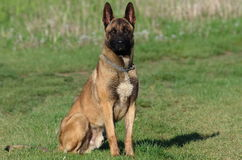 Dog - Belgian Malinois. The Malinois or Belgian Malinois, it is used as a working dog for tasks including detection of odors such as explosives, accelerants for Royalty Free Stock Photo